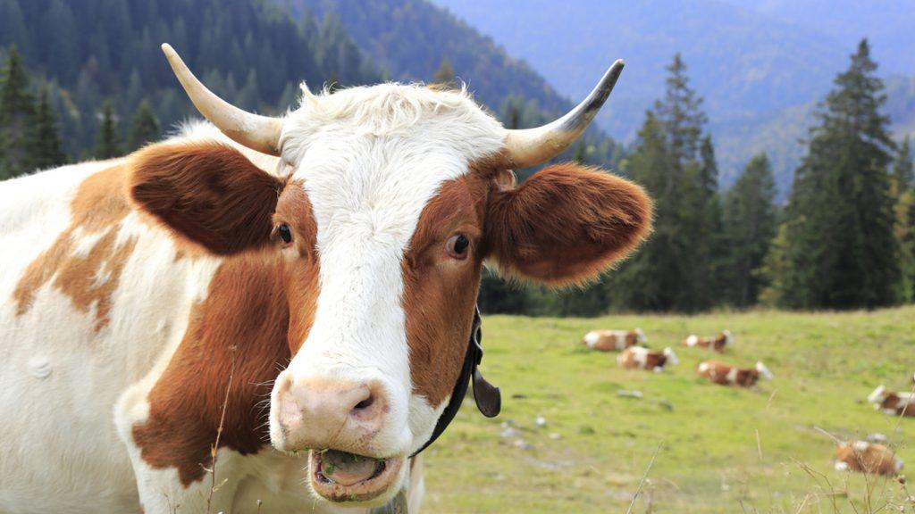 Colostrum Life Happy cow